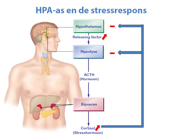 HPA-as en de stress respons